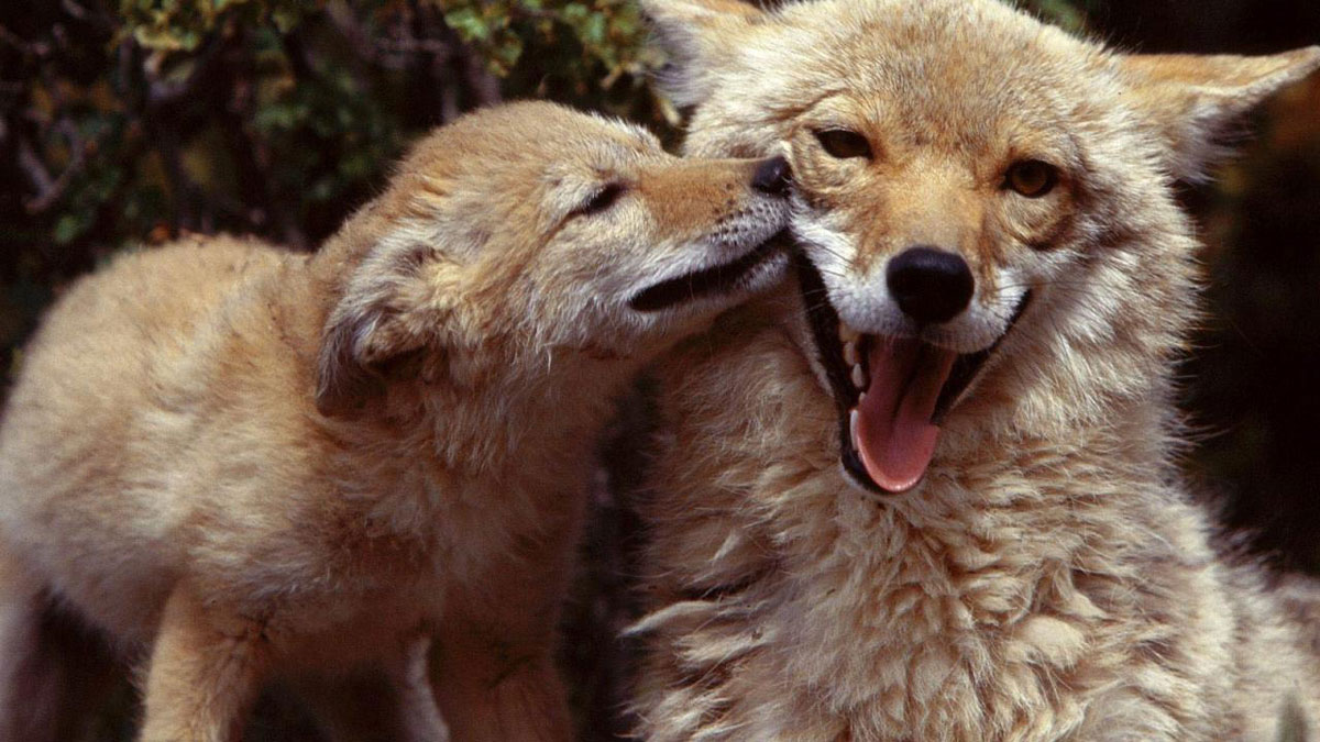 https://adlaz.org/wp-content/uploads/2019/10/coyote-mom-and-pup.jpg